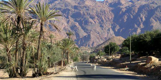 Palmeras y Cabras en Agadir