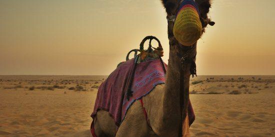 Camello en el desierto de Dubai