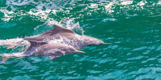 Avistamiento Delfines desde el dhow en Khasab