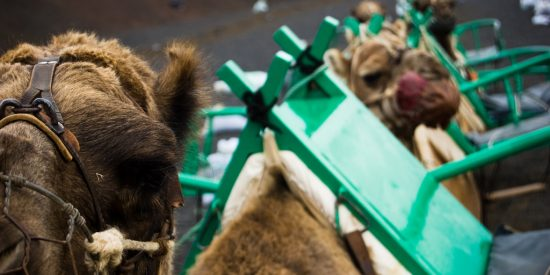 Paseo en Camello Lanzarote
