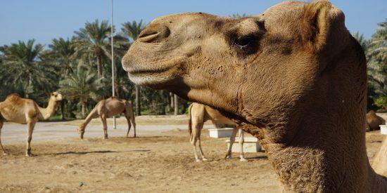 Bonita imagen de camello en Bahrein