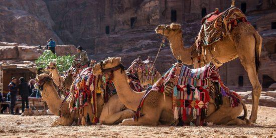 Camellos en Petra Jordania Tour Crucero