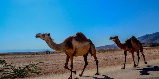 Camellos por Salalah Oman